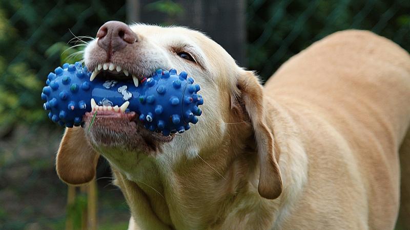 limpiar dientes perro