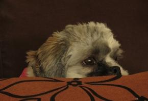 Cómo tranquilizar a un perro antes de acudir al veterinario