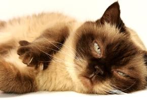 Fiebre en gatos: cómo detectarla y cuándo acudir al veterinario
