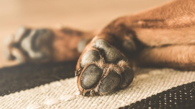 desinfectar las patas del perro